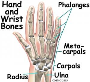 wrist_anatomy_bones04